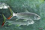 Imgtigerfish02