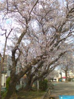 桜がキレイに咲きました